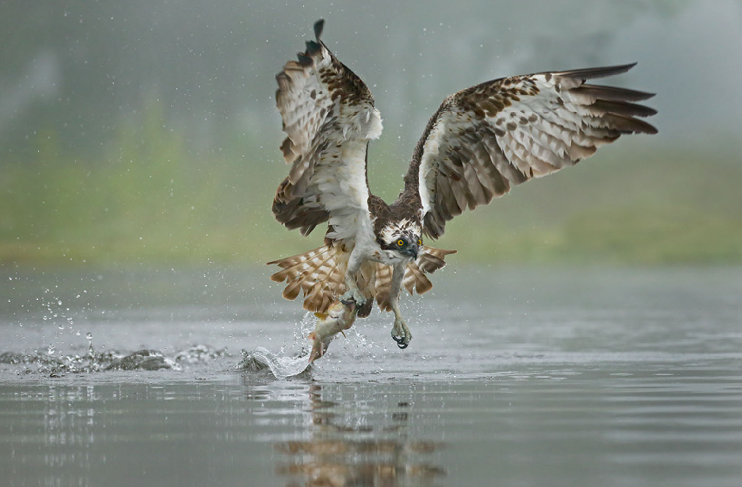 Osprey catching its prey in the Cairngorms National Park